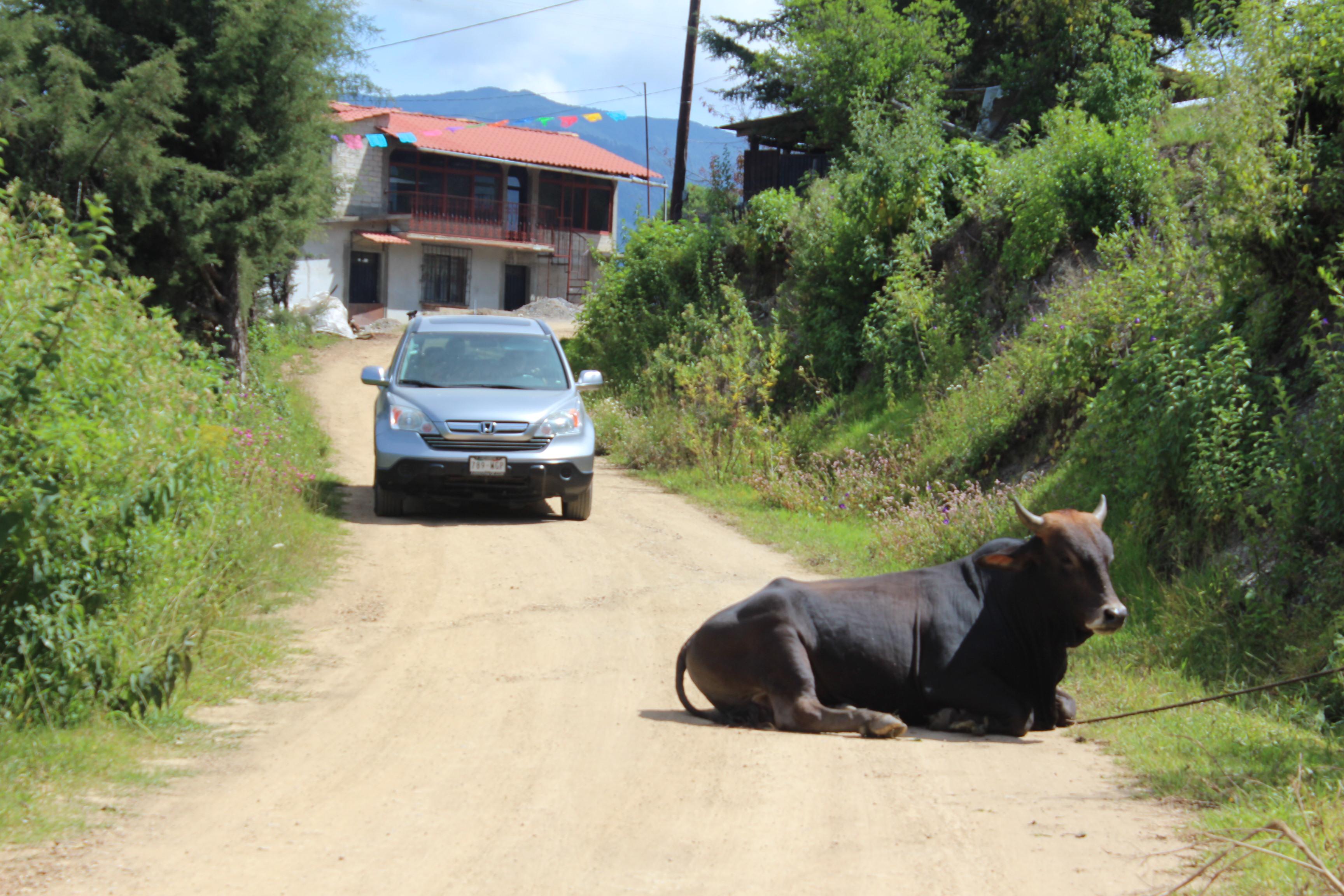 vaca en la entrada de santa catarina lachatao pagina 3