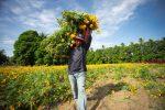 Cultivar Flor de Muerto es más tradición que negocio en el Istmo de Tehuantepec pagina 3