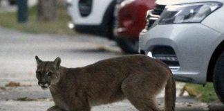 animales aparecen en las ciudades